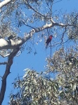 crimson rosella in a gum tree